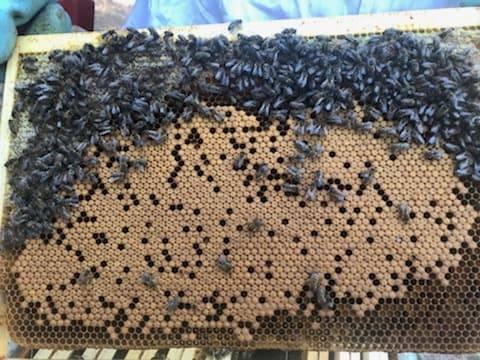 Un joli cadre sur lequel on aperçoit un couvain ( œufs et larves) important surveillé par les nourrices
