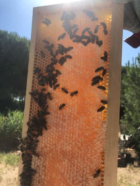 Les butineuses finissent d'operculer le cadre, empli d'un beau miel ambré prêt à être récolté